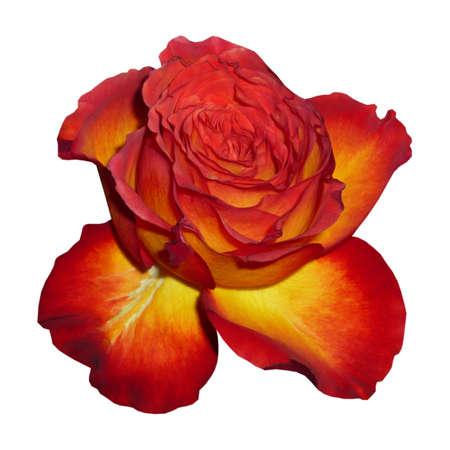 Flower Tea Rose, white background