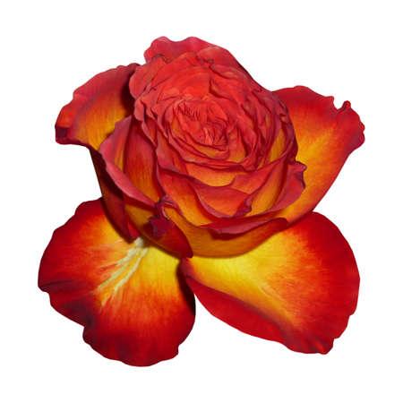dearest: Flower Tea Rose, white background