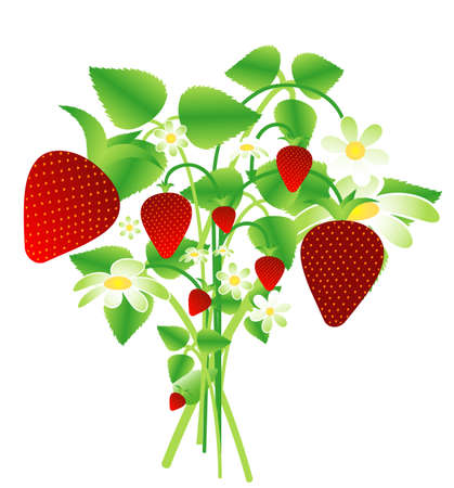 Bouquet of wild strawberries Vector