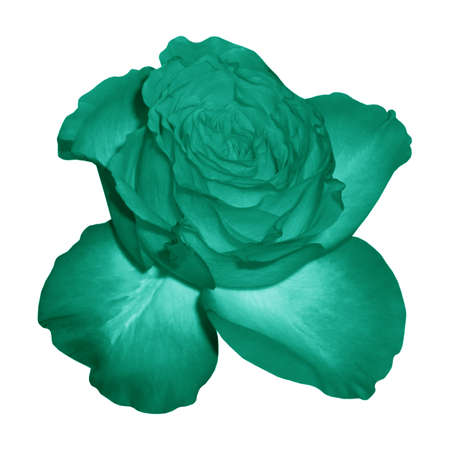 Flower one rose turquoise object white isolated