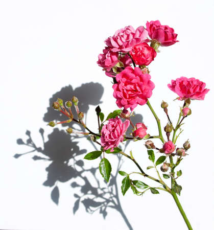 Twig with tiny flowers of pink roses, with a shadow on a white background. Foto de archivo