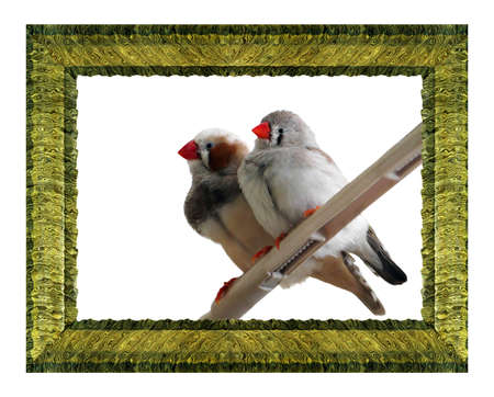 Little birds reared in the home, in a frame.