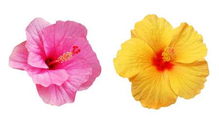Deux fleurs d'hibiscus de couleur jaune et rose, objets isolés.