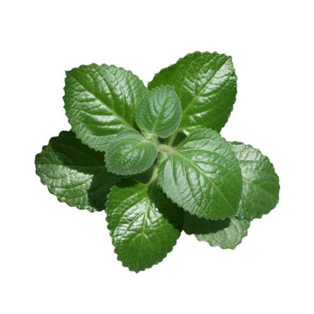 Lemon balm. Close up of green mint leaves isolated on white background.