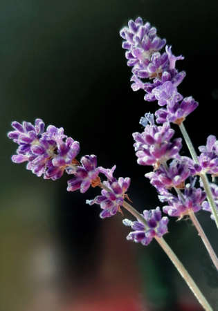 Close up of lilac flowers lavenders,  bouquet of flowers Foto de archivo - 149502444