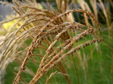 Background with autumn dry decorative grass Archivio Fotografico