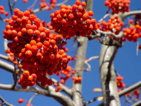 Fire of the red rowan berry against the blue sky