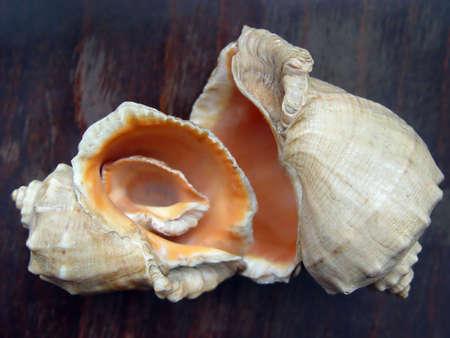 mollusk: Three shells of the Black Sea mollusk Stock Photo