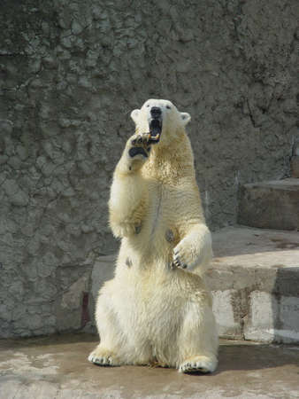 Polar bear standing up on the hind legs bare its fangs Stock Photo