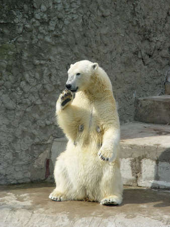 Polar she-bear standing up on the hind legs