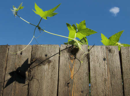 cottage fence: The wood fence with climbing-plant around the cottage
