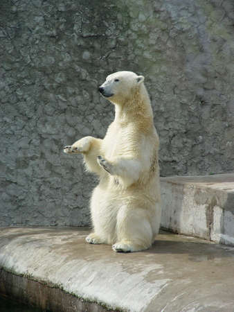 Polar bear begging for bread in zoo