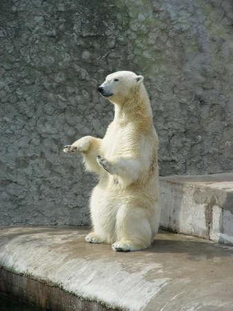Polar bear begging for bread in zoo
