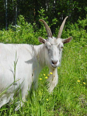 White goat in the high grass