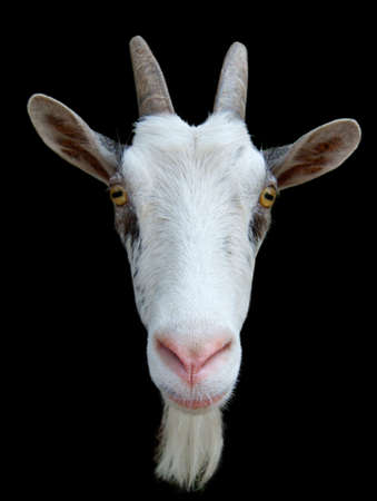 masticate: Goat�s muzzle against the black background