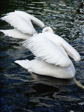 simultaneous: Two simultaneous diving white swans