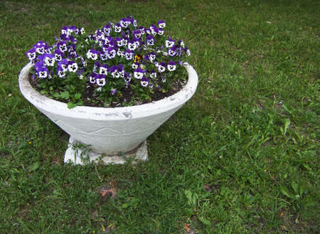 White bowl with blooming violets in garden photo