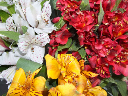 alstromeria: Three-colored bunch of cultivated flowers