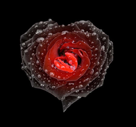 Black-and-red rose in the form of heart in drops over black