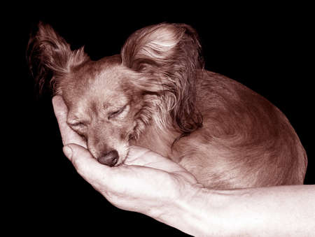 restful: The restful sleep of the Russian Toy-Terrier on the palm
