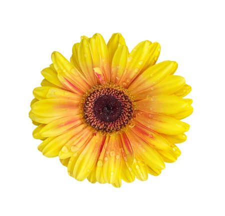 Fresh yellow flower  - gerbera Stock Photo