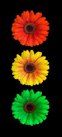 Light signal of flowering gerberas Stock Photo