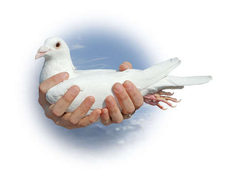 White pigeon in hands of the girl against vault of heaven