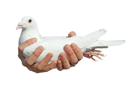 White pigeon in hands. Object over white. Stock Photo