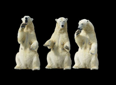 Three polar bears - females standing up on the hind legs