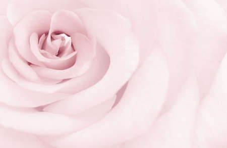 The tone delicate rose in form of art postcard