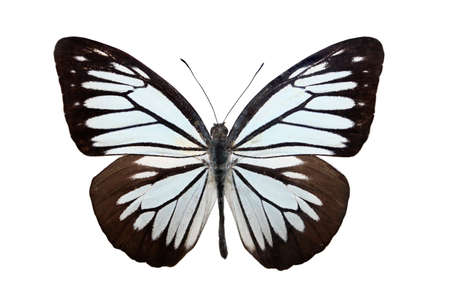 pieridae: Butterfly over white Stock Photo