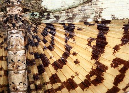 gigantesque: Wing de gigantesques en forme de tige, les insectes tropicaux