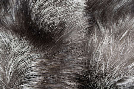 Background Fur silver fox