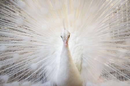 white tail: White peacock Stock Photo