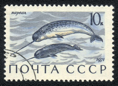 USSR - CIRCA 1971: A Stamp printed in USSR shows image of a narwhal -Monodon monoceros, serie, circa 1971 Stock Photo - 10017424