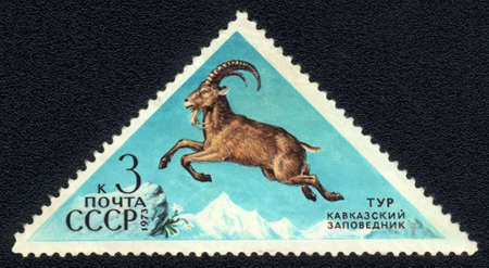 USSR - CIRCA 1973: A Stamp printed in USSR shows image of a Caucasian goat with the inscription  Stock Photo - 10017457