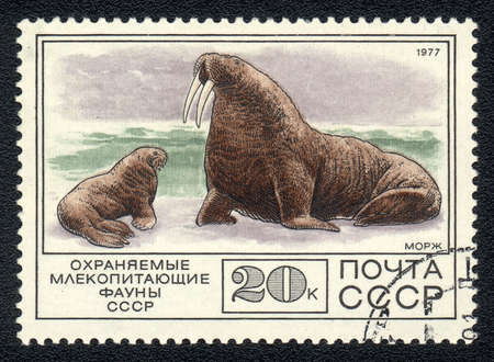USSR - CIRCA 1977: A Stamp printed in USSR shows image of a walrus (Odobenus rosmarus) from the series  photo