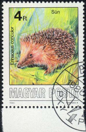 magyar: MAGYAR - CIRCA 1986: A stamp printed in MAGYAR shows Erinaceus concolor, circa 1986