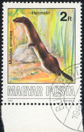 magyar: MAGYAR - CIRCA 1986: A stamp printed in MAGYAR shows Mustela erminea, circa 1986