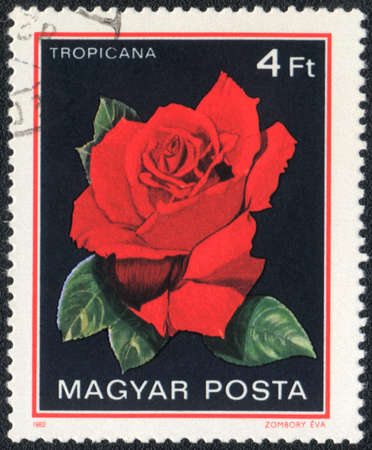 Hungary - CIRCA 1982: A stamp printed in Hungary shows Tropicana rose, circa 1982 photo