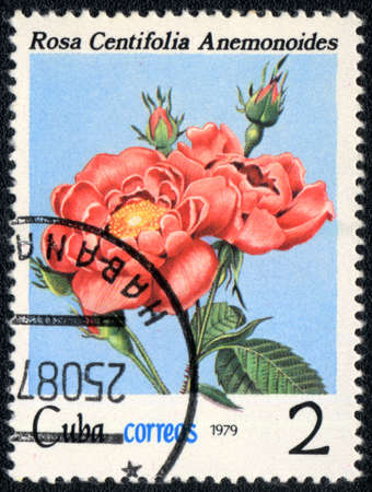 CUBA - CIRCA 1979: A stamp printed in CUBA shows  Rose Centifolia Anemonoides, circa 1979 photo