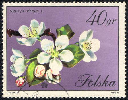 POLAND - CIRCA 1972: A Stamp printed in POLAND shows image of a Grusza pyrus, circa 1972  photo