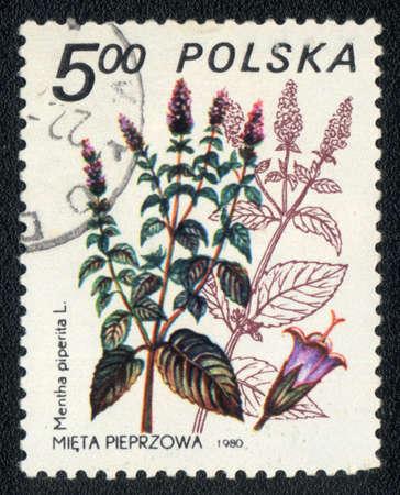 mentha: POLONIA - CIRCA 1980: Un sello impreso en Polonia muestra la imagen de un Mentha piperita, la hierba de la serie, alrededor de 1980