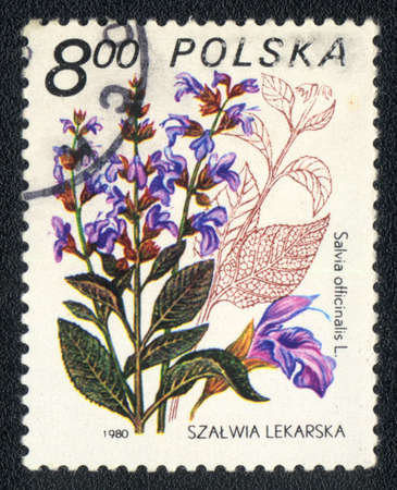 POLAND - CIRCA 1980: A stamp printed in POLAND shows image of a Salvia officinalis, herb series, circa 1980  photo
