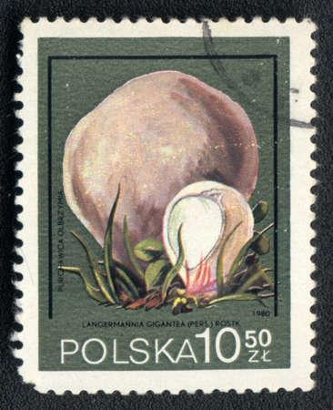 POLAND - CIRCA 1980: A stamp printed in USSR  shows  a Langermannia gigantea, mushroom series, circa 1980 Stock Photo - 10774838