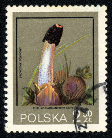 phallus: POLAND - CIRCA 1980: A stamp printed in USSR  shows  a Phallus hadriani, mushroom series, circa 1980