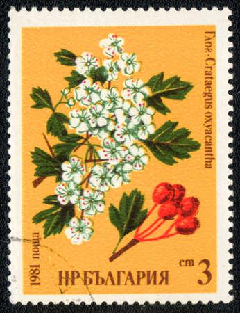 crata�gus: BULGARIA - CIRCA 1981: Un sello impreso en Bulgaria muestra un Crataegus oxyacantha, serie, alrededor del a�o 1981