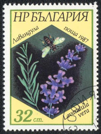 lavandula angustifolia: BULGARIA - CIRCA 1987: A stamp printed in BULGARIA   shows  a Lavandula vera, series, circa 1987