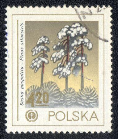 pinus sylvestris: POLAND - CIRCA 1980: A stamp printed in POLAND  shows  a Pinus sylvestris, series, circa 1980