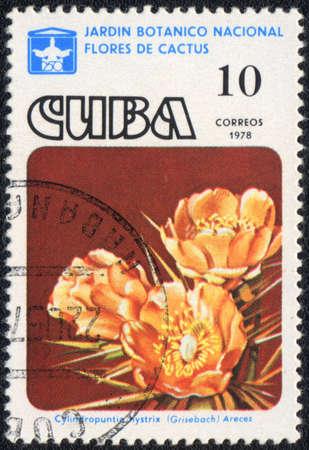 CUBA - CIRCA 1978: A stamp printed in CUBA  shows  a cactus - Cylindropuntia hystrix Grisebach Areces, series